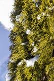 Μέρος του χειμώνα arborvitae θάμνων Στοκ Φωτογραφία