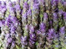 μέρος lavender των λουλουδιών, του υποβάθρου και της σύστασης Στοκ Εικόνες