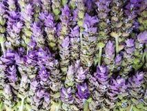 μέρος lavender των λουλουδιών, του υποβάθρου και της σύστασης Στοκ Εικόνα