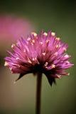 Μέσα σε ένα πορφυρό λουλούδι στοκ εικόνες