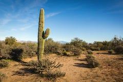 Μέσος κάκτος saguaro στο τοπίο ερήμων Στοκ Φωτογραφία