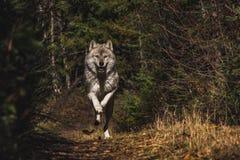 Μέσο τρέξιμο λύκων στοκ φωτογραφία με δικαίωμα ελεύθερης χρήσης