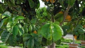 Μέσω του tangerine δέντρου εσπεριδοειδών Άποψη μέσω ενός δέντρου με την ανάπτυξη ώριμων και ωριμάζοντας tangerines και των πορτοκ απόθεμα βίντεο