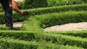 Μέτρηση του ύψους ενός κήπου πυξαριού απόθεμα βίντεο