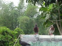 Μέτωπο δύο πουλιών του βόστρυχου στοκ εικόνες