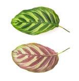 Μέτωπο και πίσω μέρος του φύλλου του makoyana Calathea στο λευκό στοκ εικόνες