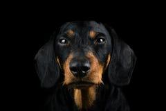 Μέτωπο πορτρέτου στούντιο dachshund Στοκ εικόνες με δικαίωμα ελεύθερης χρήσης