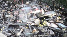 Μέτωπο ποταμών ψαριών σίτισης του ναού Ταϊλάνδη Nonthaburi φιλμ μικρού μήκους