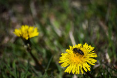Μέλισσα άνοιξη που αρχίζει worknull Στοκ Εικόνες
