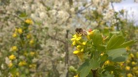 Μέλισσα άνοιξη Στοκ φωτογραφία με δικαίωμα ελεύθερης χρήσης