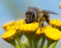 Μέλισσα ή μέλισσα σε λατινικό Apis Mellifera Στοκ εικόνα με δικαίωμα ελεύθερης χρήσης
