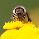 Μέλισσα ή μέλισσα σε λατινικό Apis Mellifera Στοκ φωτογραφία με δικαίωμα ελεύθερης χρήσης