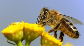 Μέλισσα ή μέλισσα σε λατινικό Apis Mellifera Στοκ φωτογραφίες με δικαίωμα ελεύθερης χρήσης