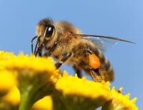 Μέλισσα ή μέλισσα σε λατινικό Apis Mellifera Στοκ Εικόνες