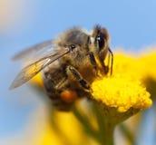 Μέλισσα ή μέλισσα σε λατινικό Apis Mellifera Στοκ Φωτογραφίες