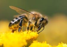 Μέλισσα ή μέλισσα σε λατινικό Apis Mellifera Στοκ εικόνες με δικαίωμα ελεύθερης χρήσης