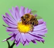 Μέλισσα ή μέλισσα Apis Mellifera στο ιώδες λουλούδι Στοκ εικόνες με δικαίωμα ελεύθερης χρήσης