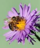 Μέλισσα ή μέλισσα Apis Mellifera στο ιώδες λουλούδι Στοκ Εικόνες