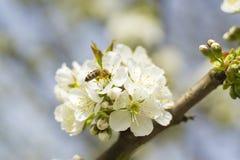 Μέλισσα ανθών κερασιών Στοκ εικόνα με δικαίωμα ελεύθερης χρήσης