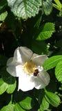 μέλισσα απασχολημένη Στοκ εικόνες με δικαίωμα ελεύθερης χρήσης