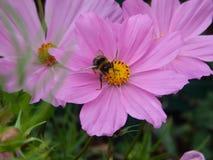 Μέλισσα βασίλισσας στην εργασία στοκ εικόνα