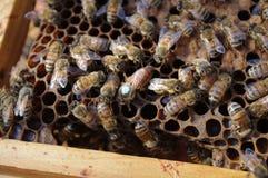 μέλισσα βασίλισσας Στοκ Φωτογραφίες