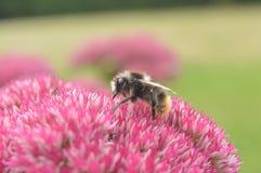 Μέλισσα βόμβου βόμβου Στοκ Φωτογραφίες