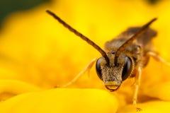 Μέλισσα ιδρώτα Στοκ Εικόνες