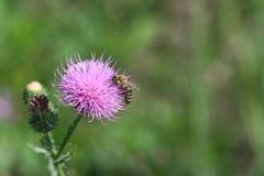 Μέλισσα κάρδων στοκ εικόνες με δικαίωμα ελεύθερης χρήσης