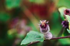 Μέλισσα και εγκαταστάσεις burdock Στοκ φωτογραφία με δικαίωμα ελεύθερης χρήσης