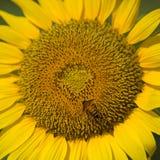Μέλισσα και ηλίανθος Στοκ φωτογραφία με δικαίωμα ελεύθερης χρήσης