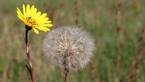Μέλισσα και κίτρινη πικραλίδα φιλμ μικρού μήκους