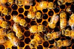 Μέλισσα και κηρήθρα Στοκ εικόνες με δικαίωμα ελεύθερης χρήσης