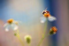 Μέλισσα και μαργαρίτα στο θερμό φως ήλιων Στοκ Φωτογραφίες