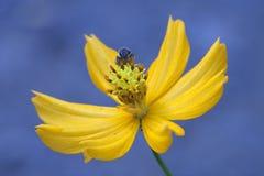 Μέλισσα και λουλούδι. στοκ φωτογραφία με δικαίωμα ελεύθερης χρήσης