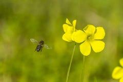 Μέλισσα και λουλούδι Στοκ εικόνες με δικαίωμα ελεύθερης χρήσης