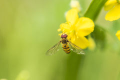 Μέλισσα και λουλούδι Στοκ Φωτογραφία
