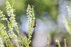 Μέλισσα και λουλούδι στοκ φωτογραφία με δικαίωμα ελεύθερης χρήσης