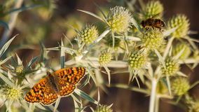 Μέλισσα και πεταλούδα στον κάρδο Στοκ φωτογραφία με δικαίωμα ελεύθερης χρήσης