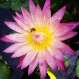 Μέλισσα και λωτός Στοκ εικόνες με δικαίωμα ελεύθερης χρήσης