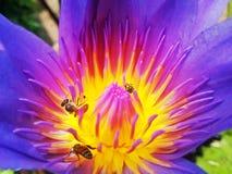 Μέλισσα και λωτός Στοκ εικόνα με δικαίωμα ελεύθερης χρήσης