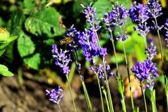 Μέλισσα και lavender Στοκ Εικόνες