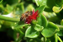 Μέλισσα κατανάλωσης Στοκ Εικόνες