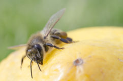 Μέλισσα κινηματογραφήσεων σε πρώτο πλάνο σε κίτρινο Στοκ Φωτογραφία