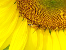 Μέλισσα κινηματογραφήσεων σε πρώτο πλάνο στον ηλίανθο πετάλων στοκ εικόνα με δικαίωμα ελεύθερης χρήσης