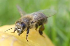 Μέλισσα κινηματογραφήσεων σε πρώτο πλάνο στο λεμόνι Στοκ φωτογραφία με δικαίωμα ελεύθερης χρήσης