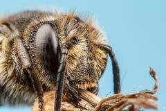 Μέλισσα κοπτών φύλλων Στοκ εικόνες με δικαίωμα ελεύθερης χρήσης
