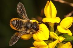 Μέλισσα κοπτών φύλλων Στοκ Φωτογραφίες
