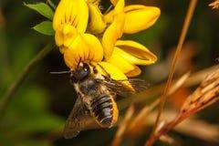 Μέλισσα κοπτών φύλλων Στοκ Εικόνες