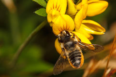 Μέλισσα κοπτών φύλλων Στοκ Φωτογραφία